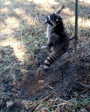 Photo of racoon caught in snare at OSU sheep farmp farm gate