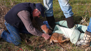 Photo of man cutting snare from bobcat's torso