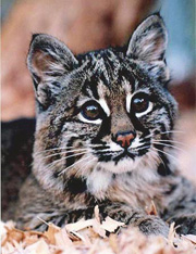 Photo of bobcat kitten