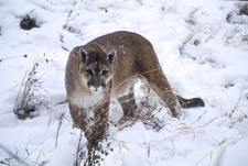 Photo of cougar in snow by George Wuerthner
