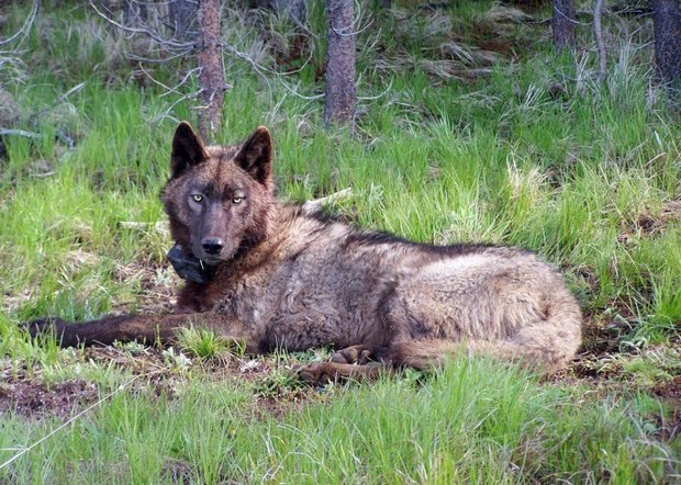 Photo of wolf in Oregon by ODFW