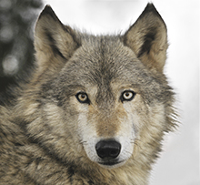 Photo of gray wolf closeup