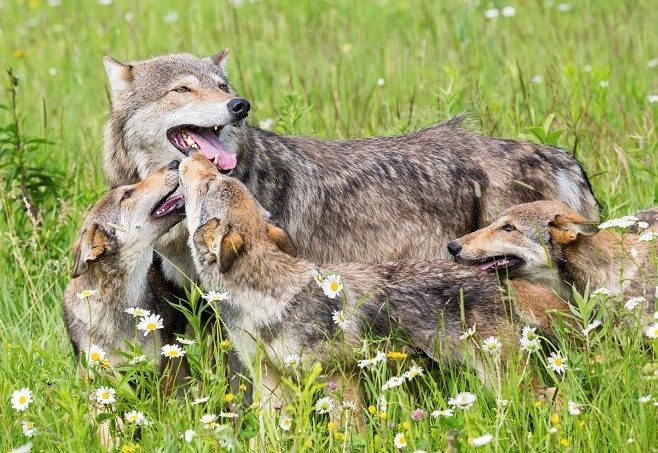 Photo of wolf family