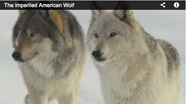 Link to film, The Imperiled American Wolf