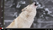 YouTube Video on How Wolves Change Rivers